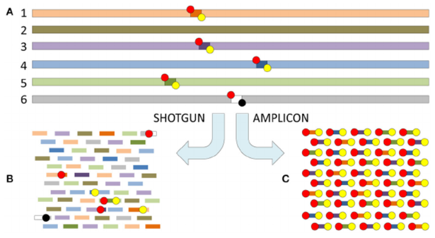 The difference between shotgun metagenomics and amplicon based metataxonomic sequencing
