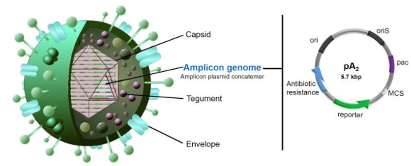 Viral amplicon vector and amplicon plasmid structure.