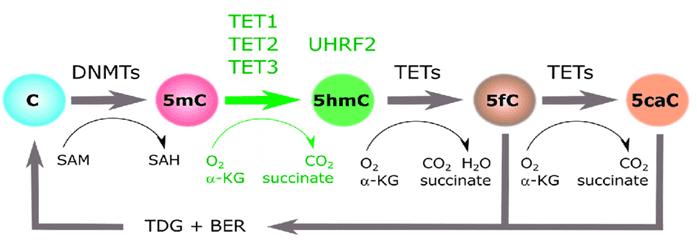 5mC/5hmC: the cytosine methylation cycle