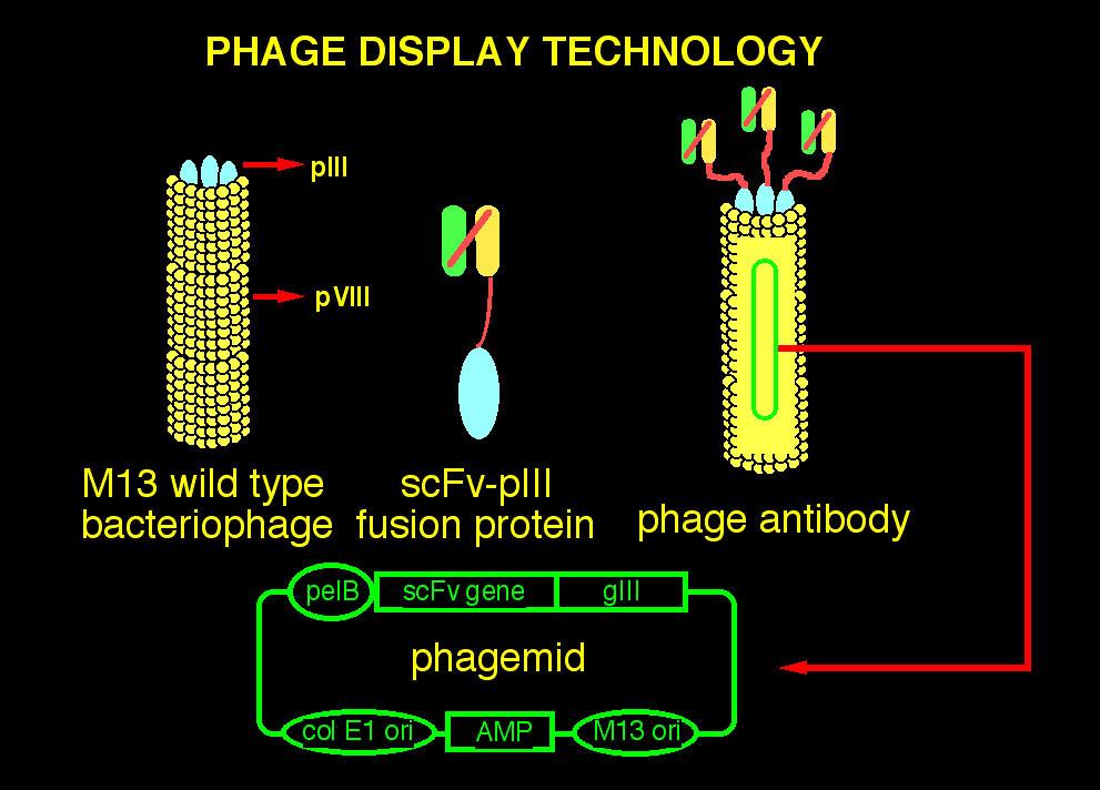 Antibody Screening Sequencing