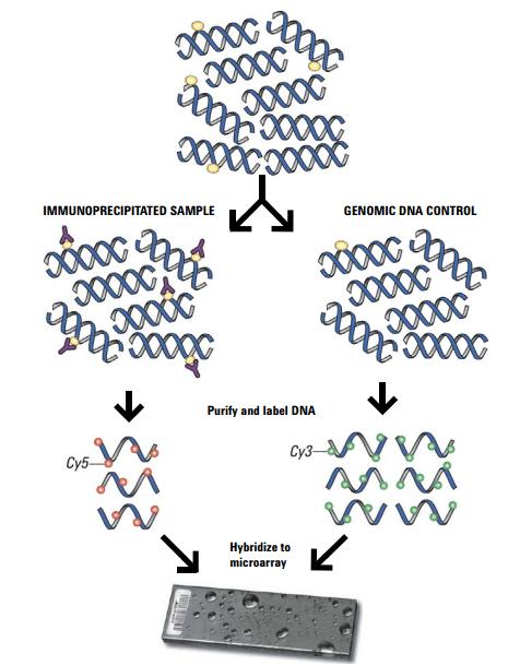 Agilent Methylation Assay workflow