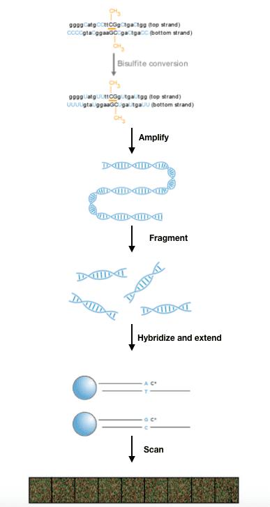 Infinium methylation assay workflow