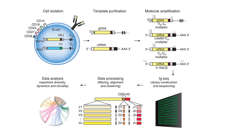 Figure 1. Schematics of steps for high-throughput  sequencing of the Ig sequence repertoire (Georgiou et al., 2014).