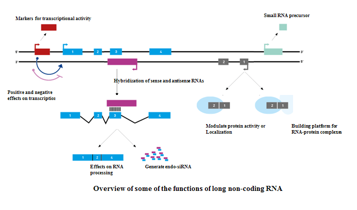 Overview of some of functions of long-coding RNA
