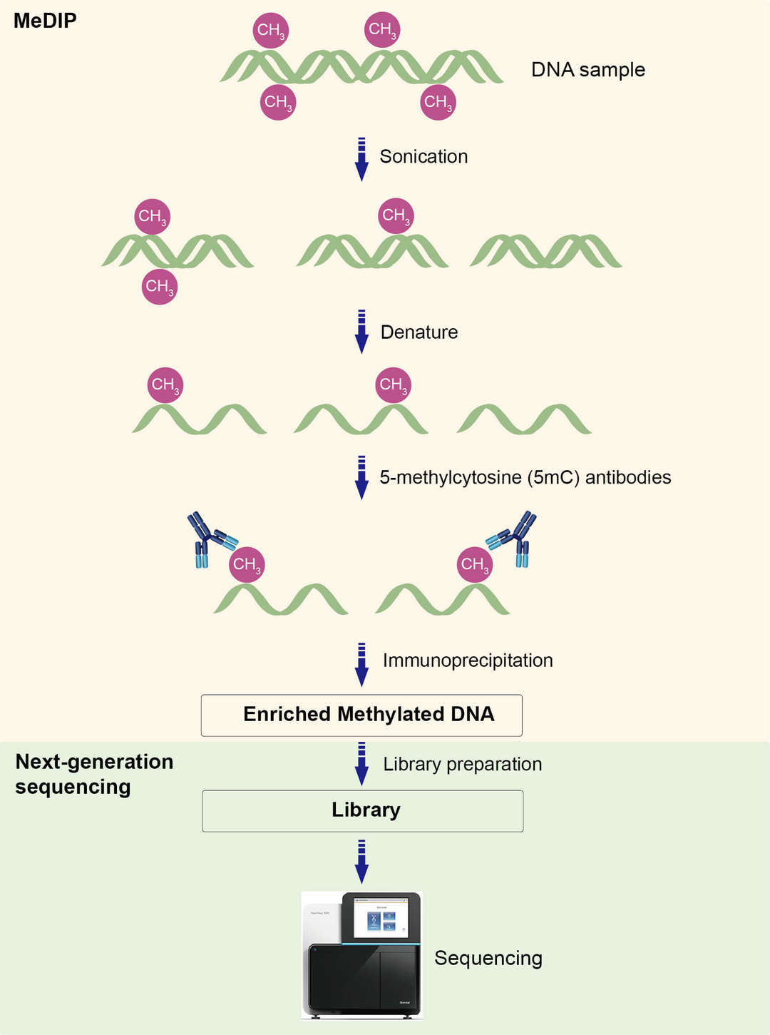 Overview of Methylated DNA Immunoprecipitation Sequencing (MeDIP-seq)