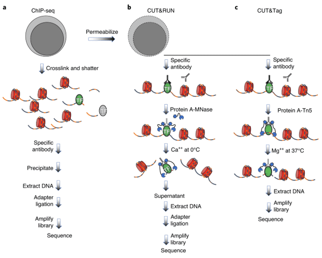A general view of ChIP-Seq, CUT&RUN, and CUT&Tag protocols