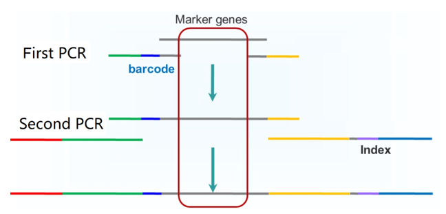 The workflow of two-step PCR for amplicon sequencing.