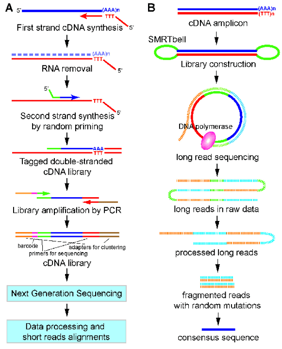 A work flow for 3'end-seq (A) and PacBio Iso-seq (B).