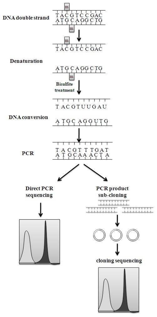 Bisulfite conversion and sequencing of samples