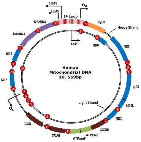 The circular human mitochondrial genome.