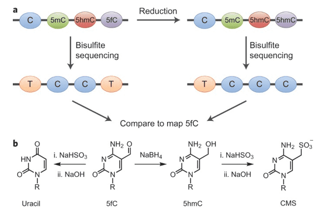 Quantitative sequencing of 5-formylcytosinein DNA at single-base resolution.