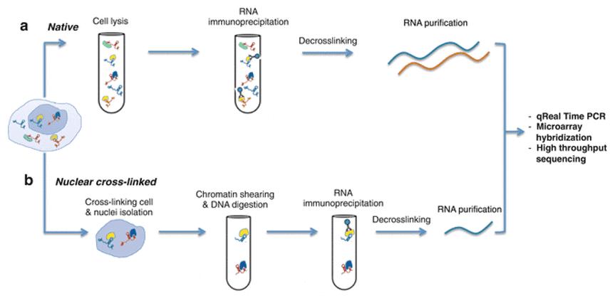 RNA immunoprecipitation sequencing protocol workflow.