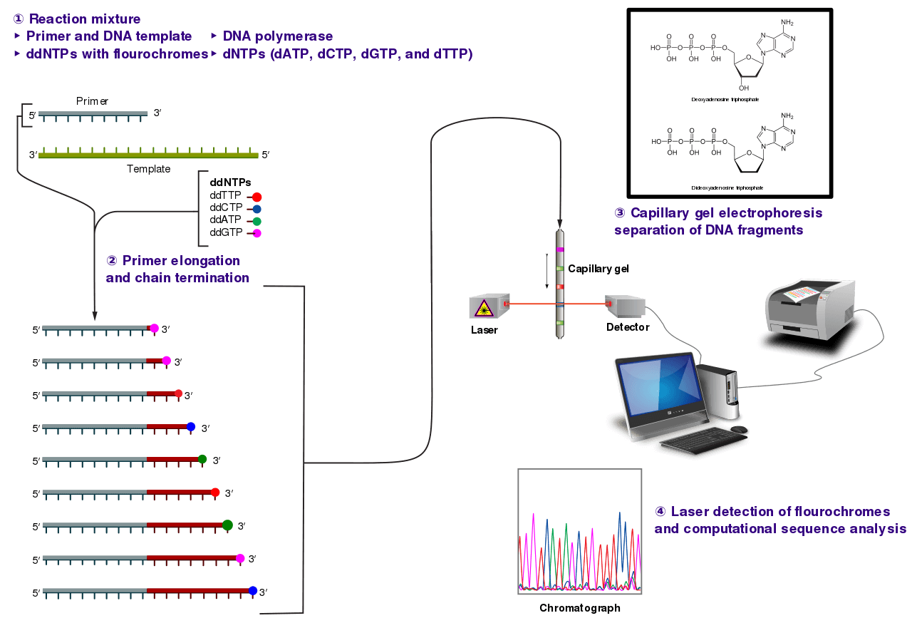 The Sanger (chain-termination) method for DNA sequencing