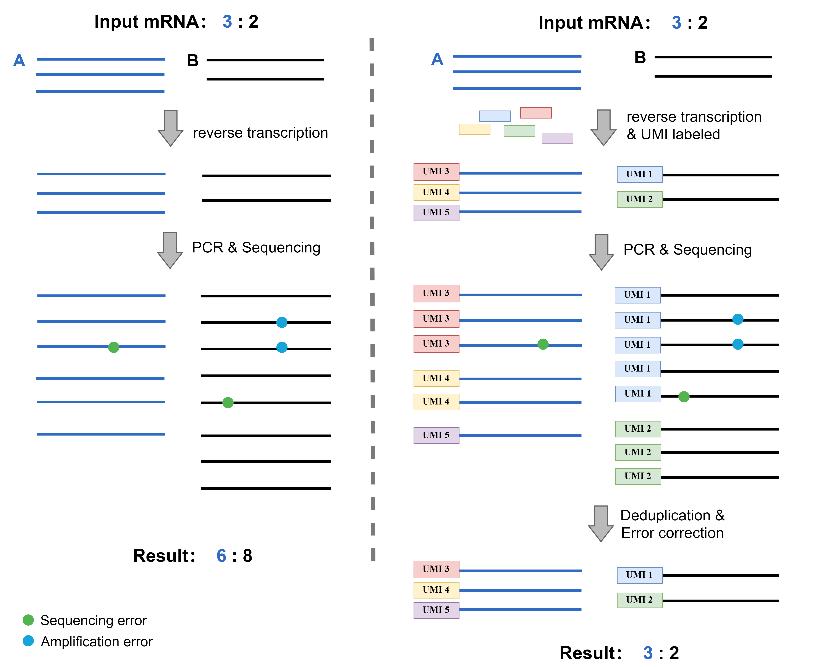 Transcriptome sequencing and UMI-RNA-Seq
