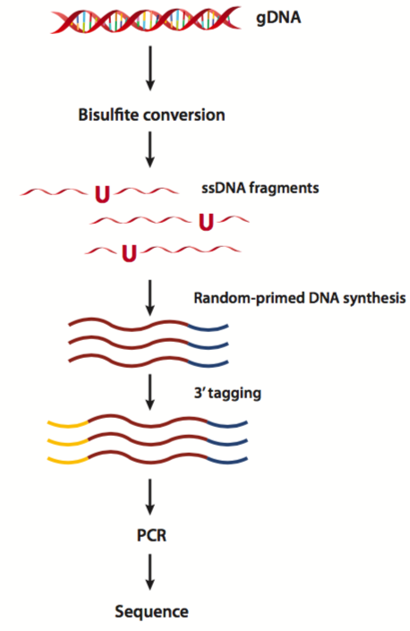 Principles and Workflow of Whole Genome Bisulfite Sequencing