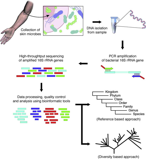 The workflow of 16S rRNA sequencing for human microbiome analysis