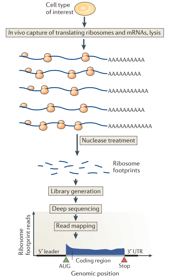 Workflow for ribosome profiling