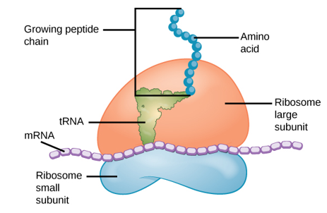 Ribosomes are comprised of a large subunit (top) and a small subunit (bottom).
